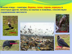 Многие птицы – санитары. Вороны, галки, сороки, коршуны и некоторые другие, п