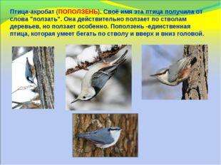 """Птица-акробат (ПОПОЛЗЕНЬ). Своё имя эта птица получила от слова """"ползать"""". Он"""