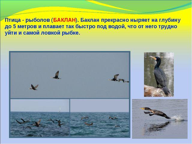 Птица - рыболов (БАКЛАН). Баклан прекрасно ныряет на глубину до 5 метров и пл...