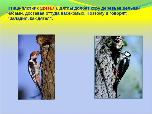 Птица-плотник (ДЯТЕЛ). Дятлы долбят кору деревьев целыми часами, доставая отт...