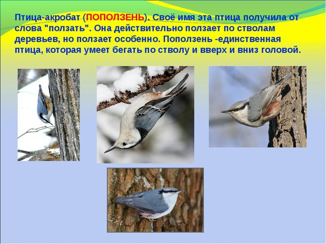 """Птица-акробат (ПОПОЛЗЕНЬ). Своё имя эта птица получила от слова """"ползать"""". Он..."""