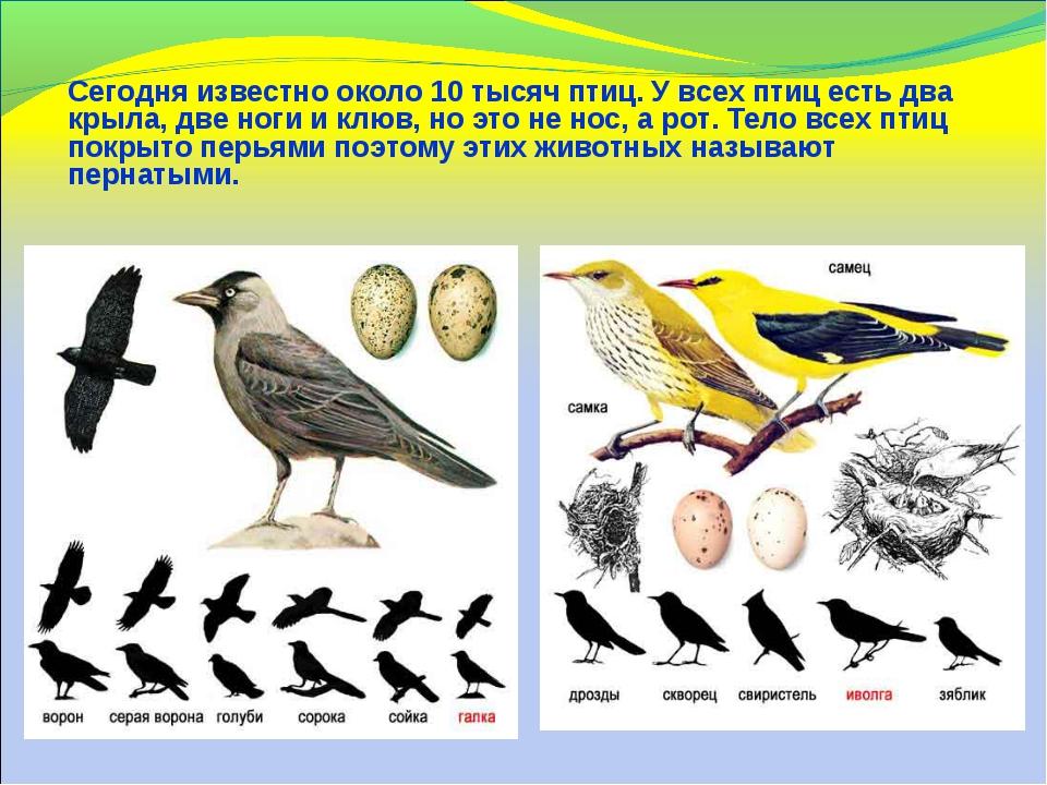 Сегодня известно около 10 тысяч птиц. У всех птиц есть два крыла, две ноги и...