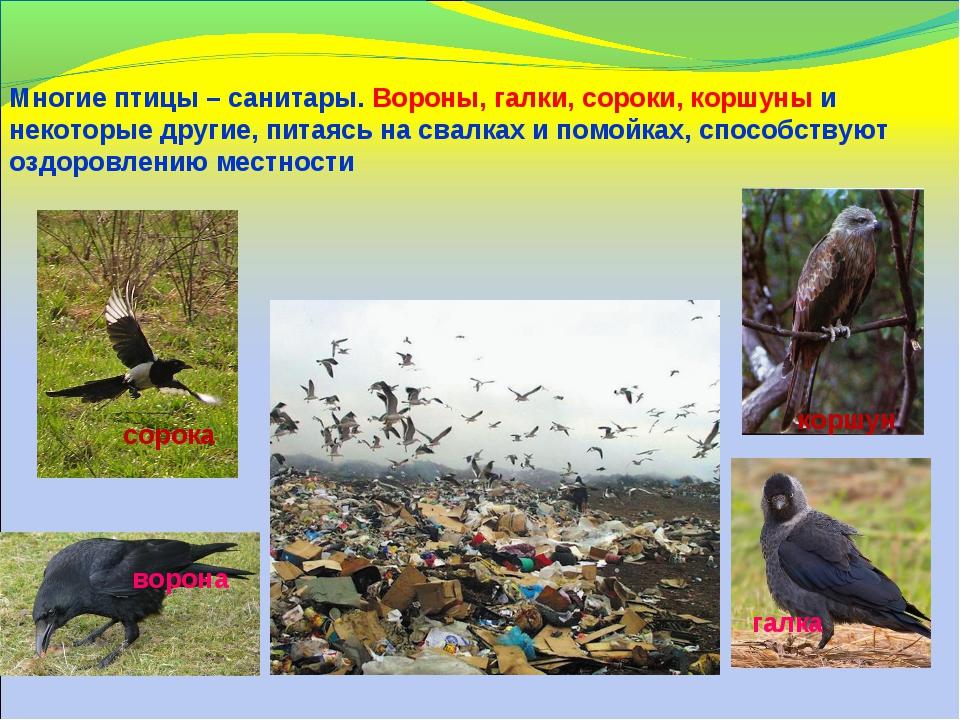 Многие птицы – санитары. Вороны, галки, сороки, коршуны и некоторые другие, п...