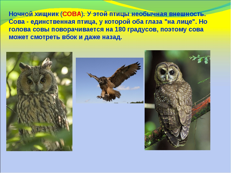 Ночной хищник (СОВА). У этой птицы необычная внешность. Сова - единственная п...