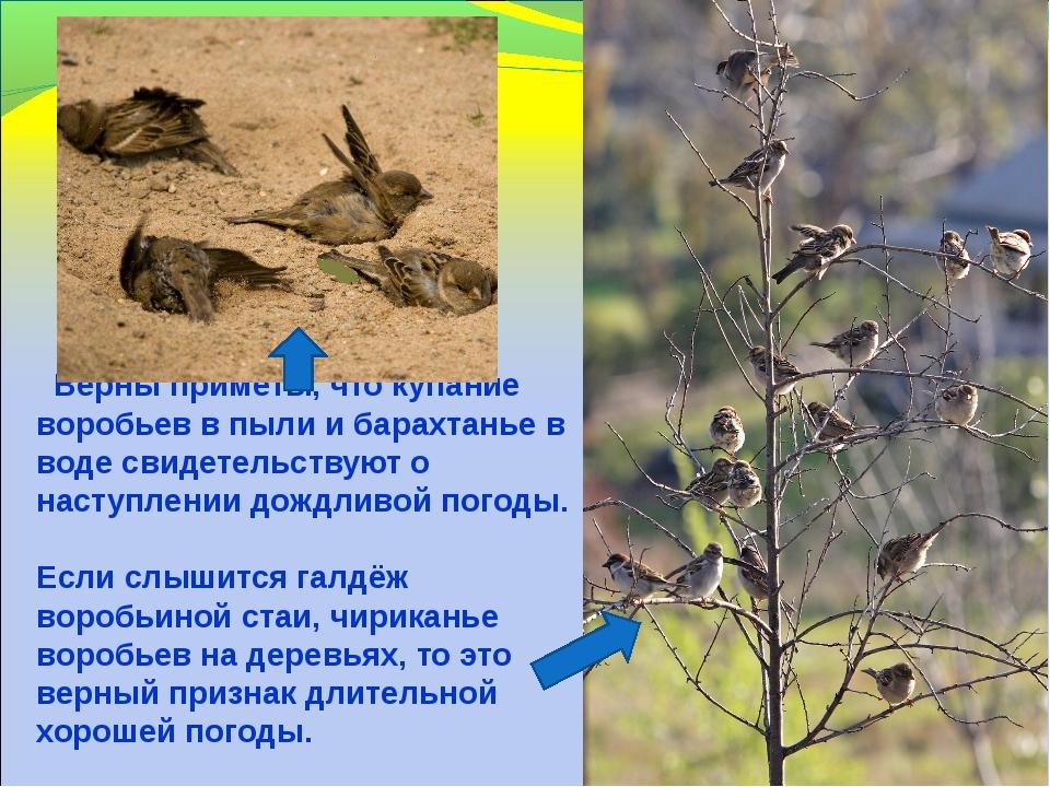 Верны приметы, что купание воробьев в пыли и барахтанье в воде свидетельству...