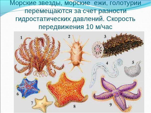 Морские звезды, морские ежи, голотурии перемещаются за счет разности гидроста...