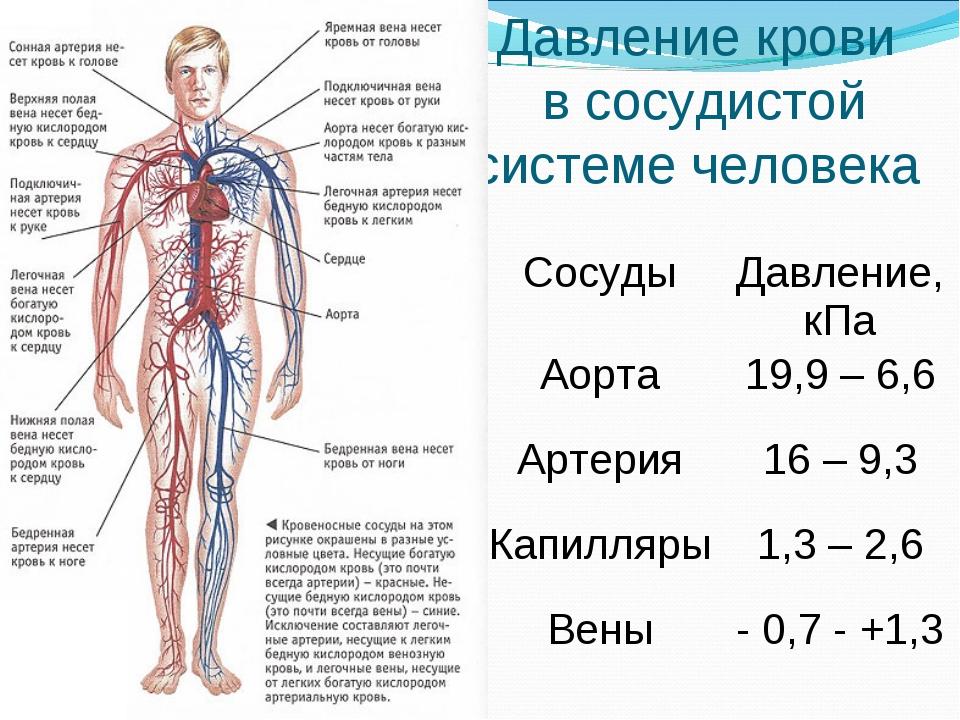 Давление крови в сосудистой системе человека СосудыДавление, кПа Аорта19,9...