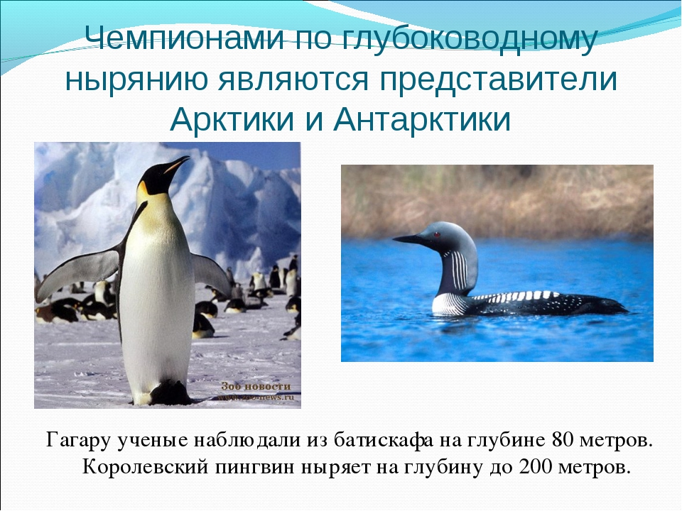 Чемпионами по глубоководному нырянию являются представители Арктики и Антаркт...
