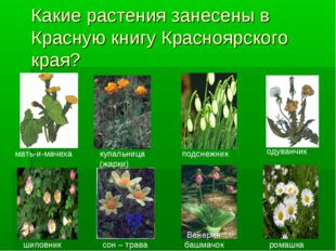 Какие растения занесены в Красную книгу Красноярского края? одуванчик мать-и-
