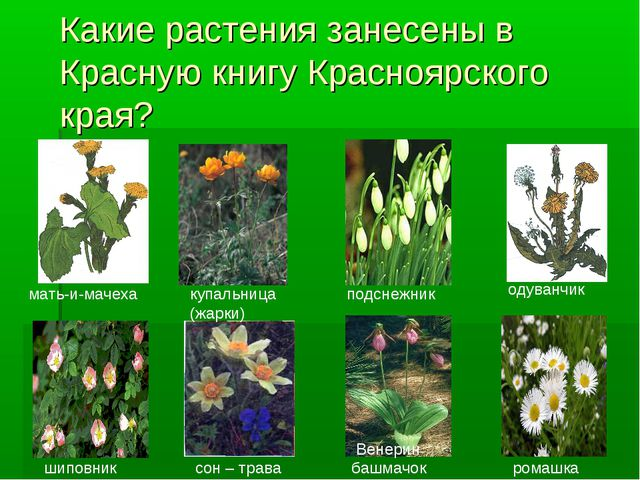 Какие растения занесены в Красную книгу Красноярского края? одуванчик мать-и-...