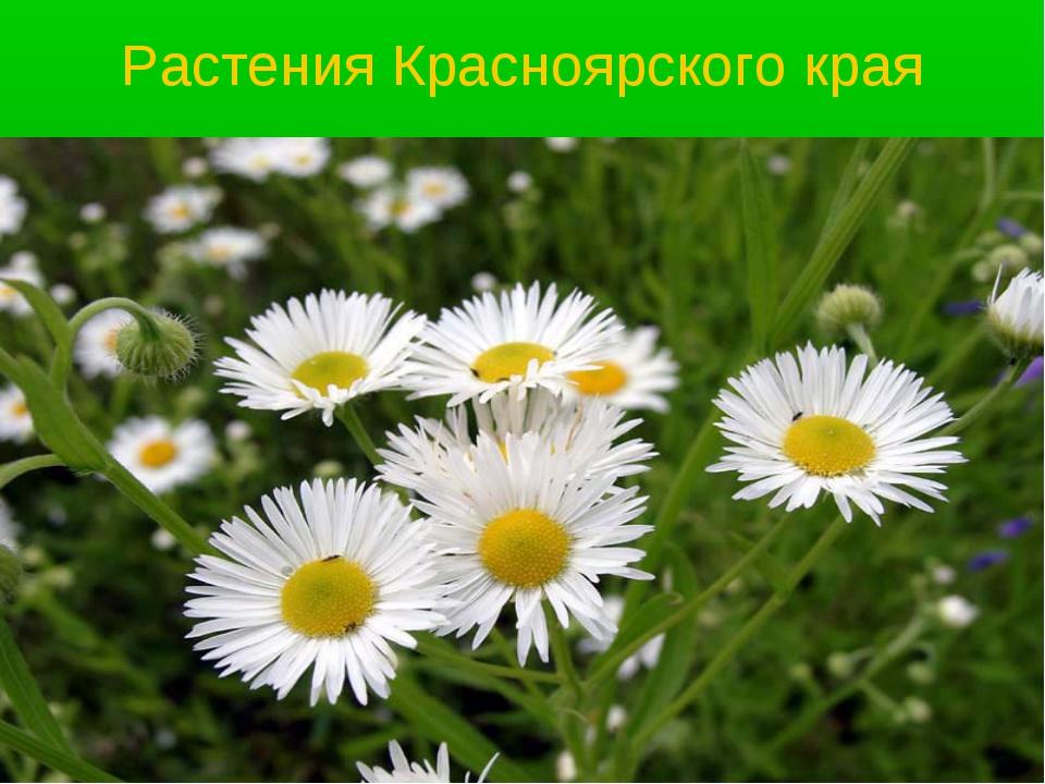 Растения Красноярского края