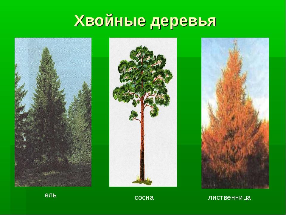 Хвойные деревья ель сосна лиственница