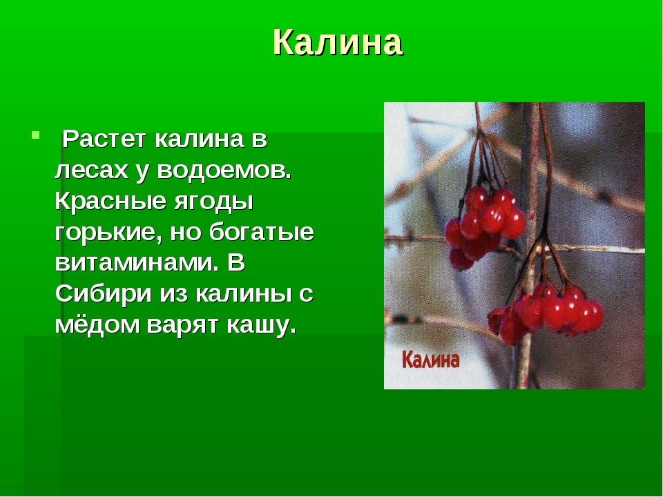 Калина Растет калина в лесах у водоемов. Красные ягоды горькие, но богатые ви...