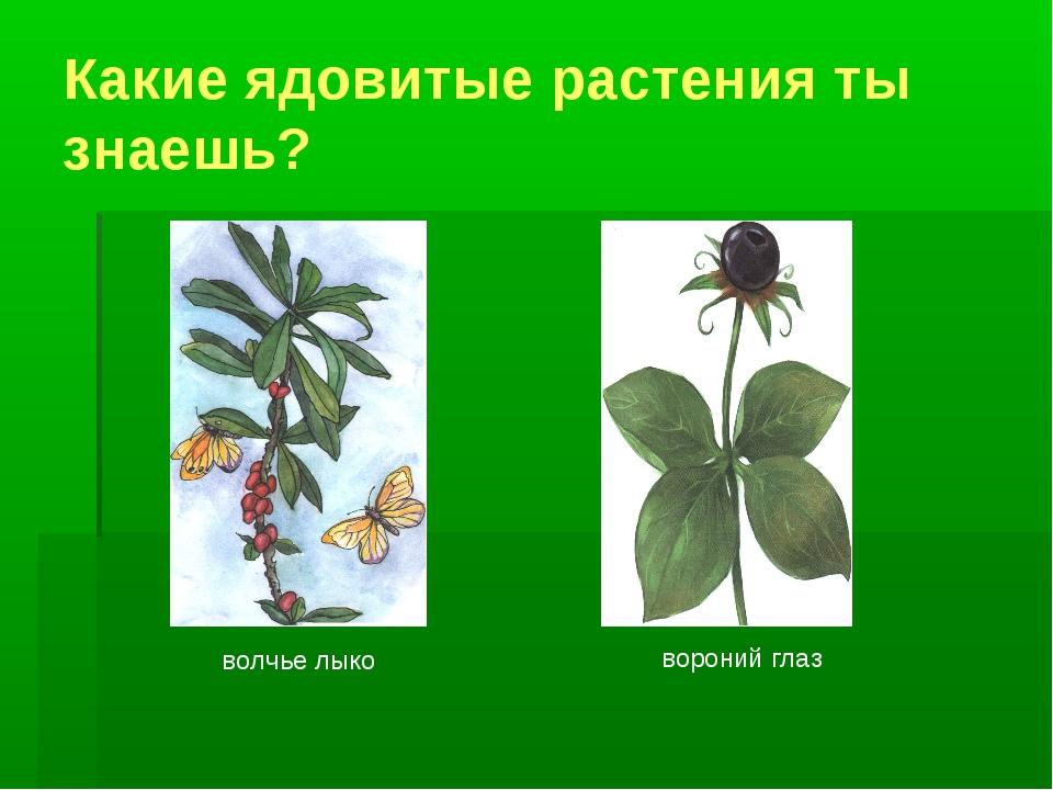 Какие ядовитые растения ты знаешь? волчье лыко вороний глаз