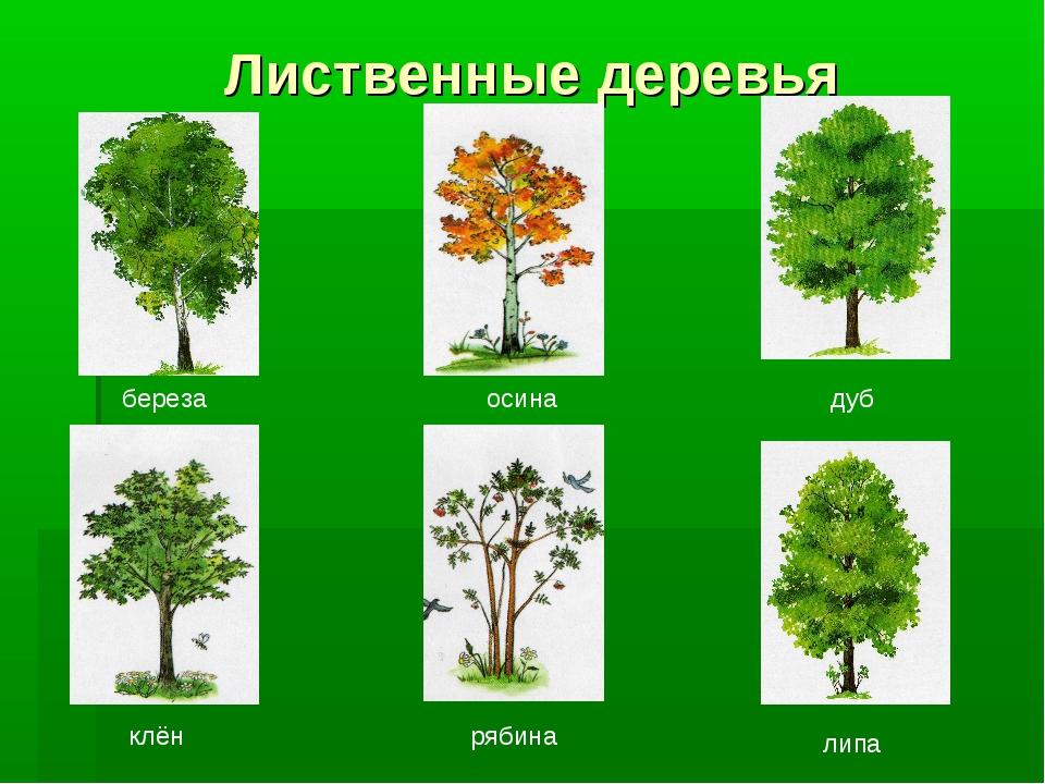 Лиственные деревья береза липа дуб осина клён рябина