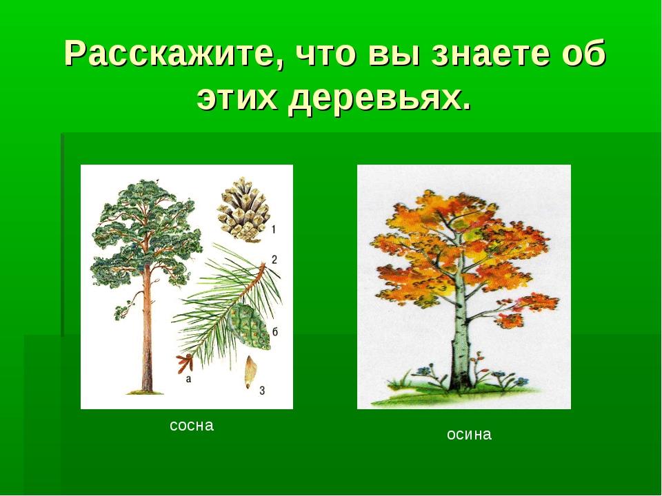 Расскажите, что вы знаете об этих деревьях. сосна осина