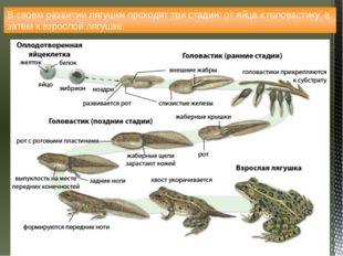 В своем развитии лягушки проходят три стадии: от яйца к головастику, а затем