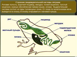 Строение пищеварительной системы лягушки. Ротовая полость, короткий пищевод,