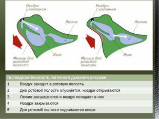 Последовательность легочного дыхания лягушки 1 Воздух заходит в ротовую полос