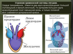 Строение кровеносной системы лягушки. Сердцетрехкамерное. Имеются два круг