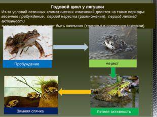 Годовой цикл у лягушки Из-за условий сезонных климатических изменений делитс