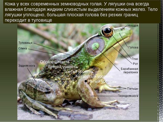 Кожа у всех современных земноводных голая. У лягушки она всегда влажная благо...