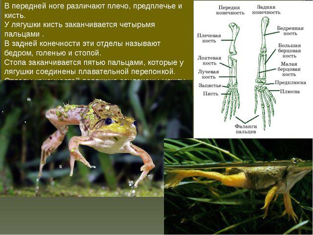 В передней ноге различают плечо, предплечье и кисть. У лягушки кисть заканчив...