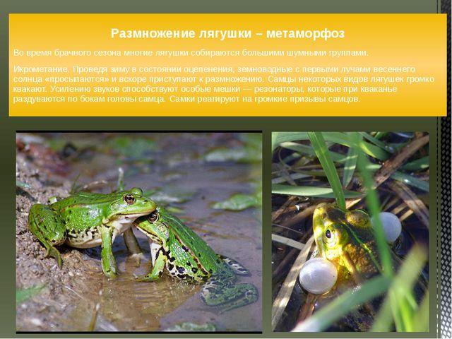 Размножение лягушки – метаморфоз Во время брачного сезона многие лягушки соби...