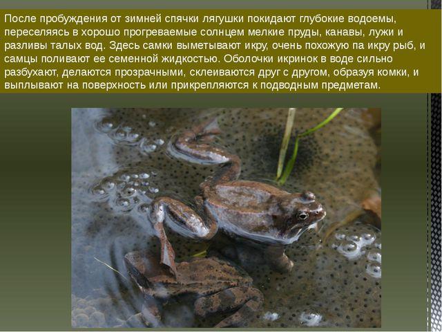 После пробуждения от зимней спячки лягушки покидают глубокие водоемы, пересел...