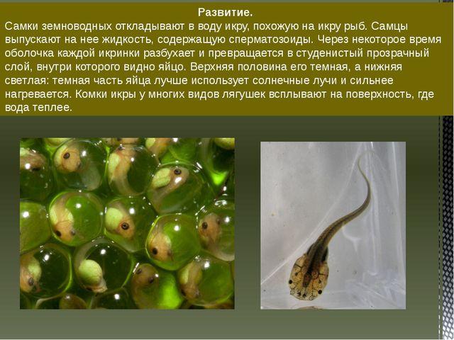 Развитие. Самки земноводных откладывают в воду икру, похожую на икру рыб. Сам...