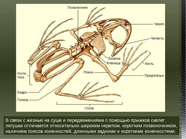 В связи с жизнью на суше и передвижениями с помощью прыжков скелет лягушки от...