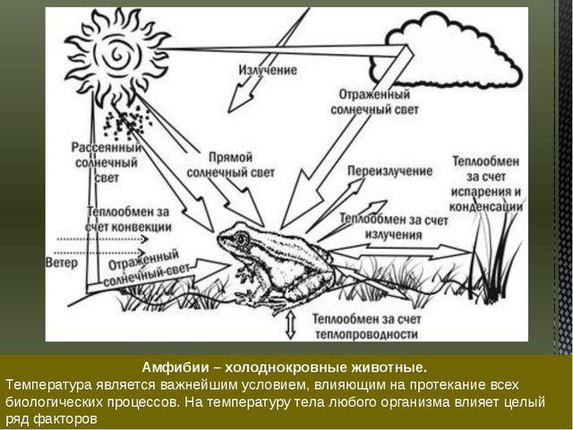 Амфибии – холоднокровные животные. Температура является важнейшим условием, в...