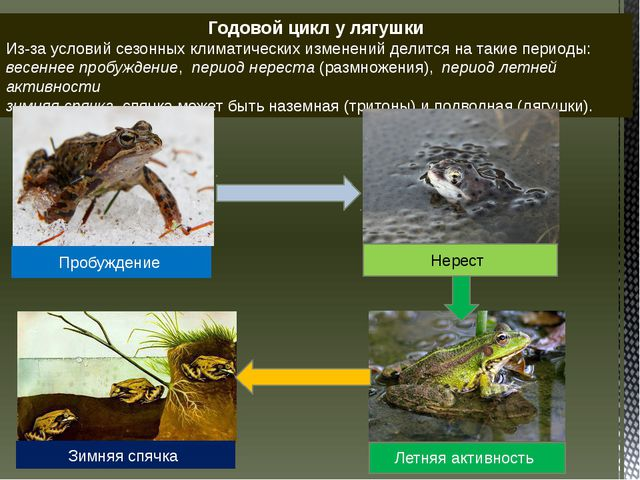 Годовой цикл у лягушки Из-за условий сезонных климатических изменений делитс...