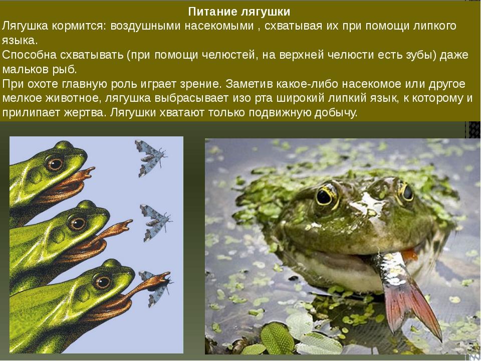 Питание лягушки Лягушка кормится: воздушными насекомыми , схватывая их при по...