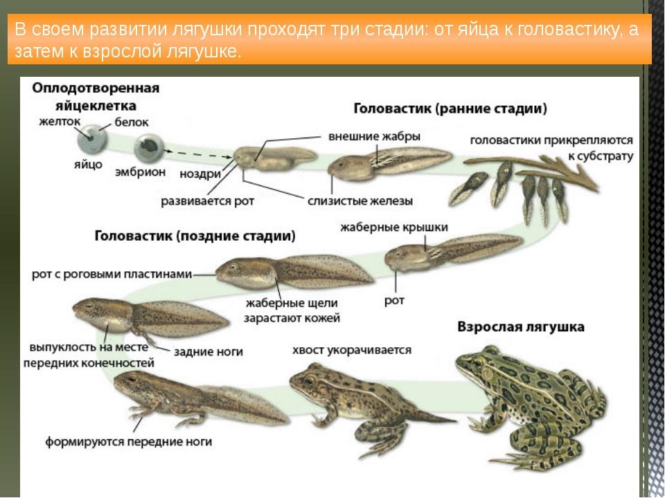 В своем развитии лягушки проходят три стадии: от яйца к головастику, а затем...