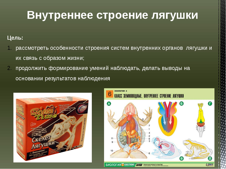 Внутреннее строение лягушки Цель: рассмотреть особенности строения систем вну...