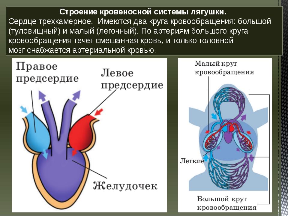 Строение кровеносной системы лягушки. Сердцетрехкамерное. Имеются два круг...