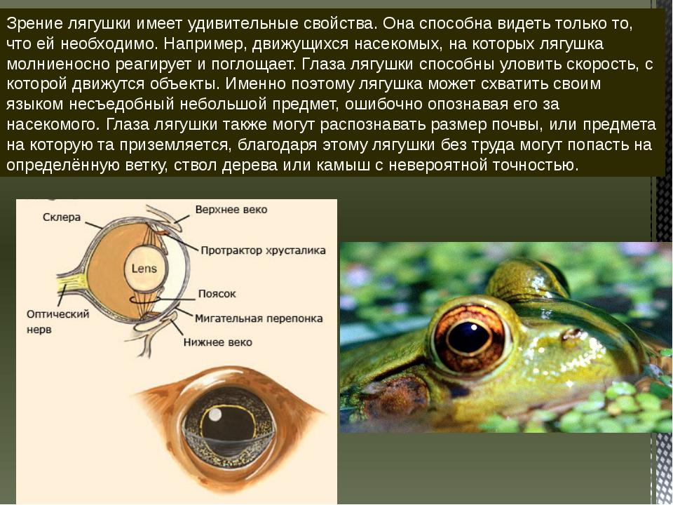 Зрение лягушки имеет удивительные свойства. Она способна видеть только то, чт...