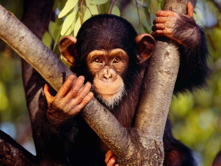 шимпанзее.jpg