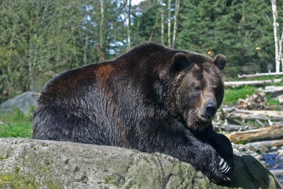 медведь-гризли.jpg