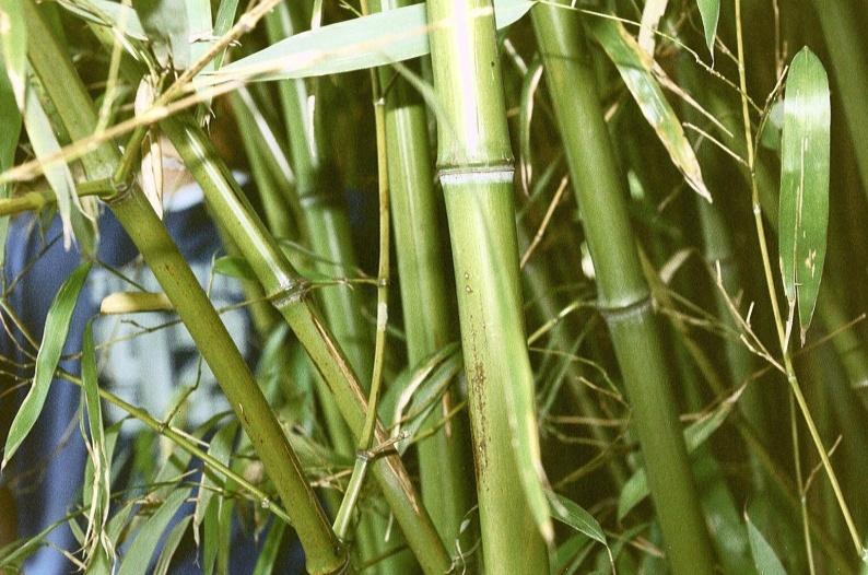 бамбук.jpg