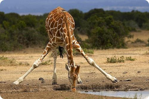 жираф.jpg