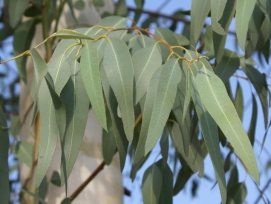 eucalyptus (3).jpg