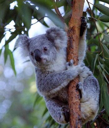 коала.jpg