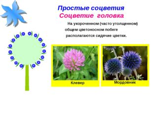 Простые соцветия Соцветие головка На укороченном (часто утолщенном) общем цве
