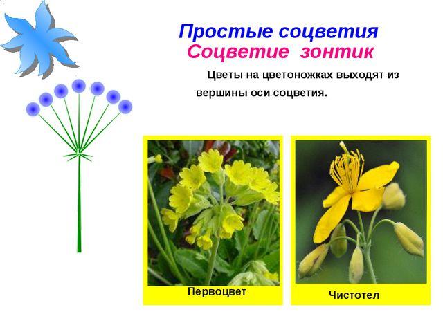 Простые соцветия Соцветие зонтик Цветы на цветоножках выходят из вершины оси...