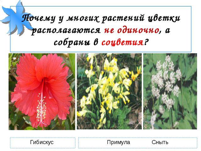 Почему у многих растений цветки располагаются не одиночно, а собраны в соцвет...