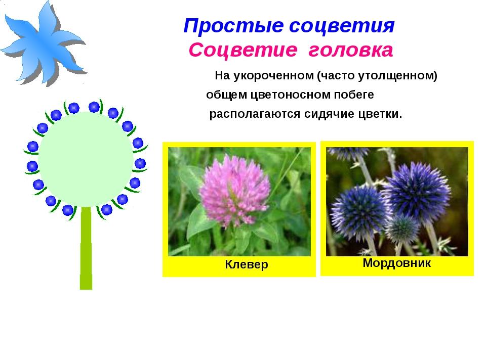 Простые соцветия Соцветие головка На укороченном (часто утолщенном) общем цве...