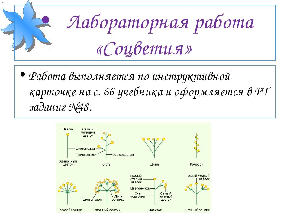•Лабораторная работа «Соцветия» Работа выполняется по инструктивной карточке...