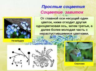 Простые соцветия Соцветие завиток От главной оси несущей один цветок, ниже от